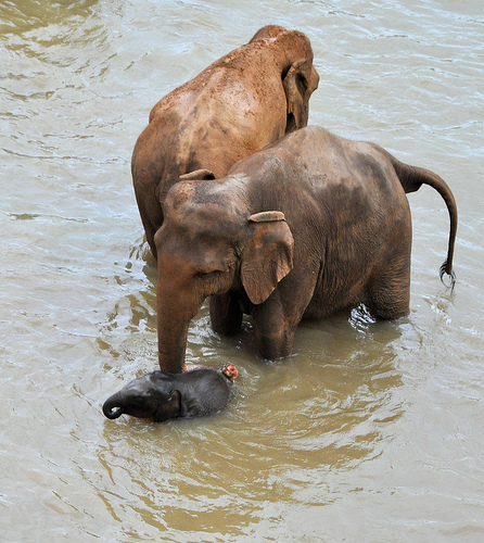 swimming baby elephant in sri lanka sanctuary