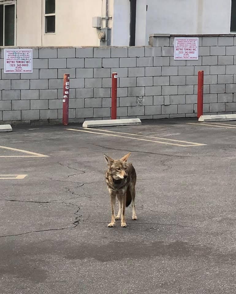 coyote in silverlake